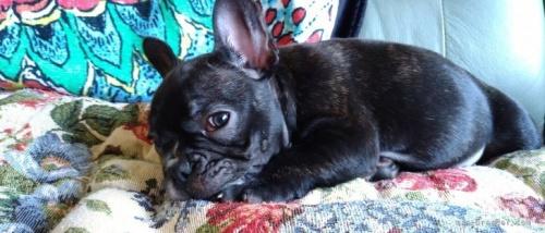 フレンチブルドッグの子犬(ID:1266911037)の2枚目の写真/更新日:2021-07-25