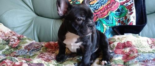 フレンチブルドッグの子犬(ID:1266911037)の3枚目の写真/更新日:2021-07-25