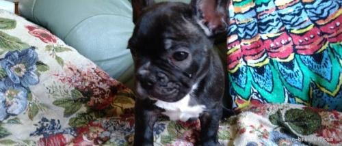 フレンチブルドッグの子犬(ID:1266911037)の4枚目の写真/更新日:2021-07-25