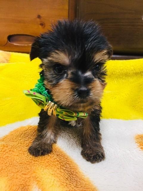 ヨークシャーテリアの子犬(ID:1267011003)の1枚目の写真/更新日:2018-08-07