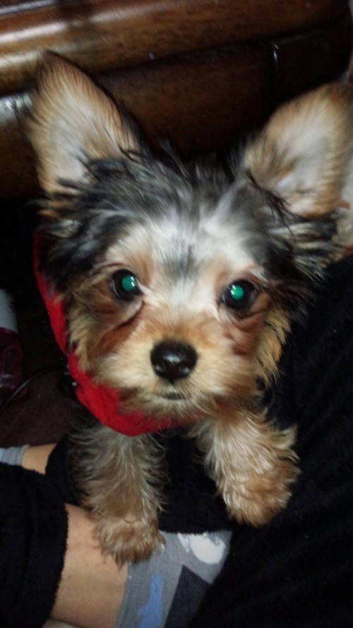ヨークシャーテリアの子犬(ID:1267011004)の4枚目の写真/更新日:2018-07-24