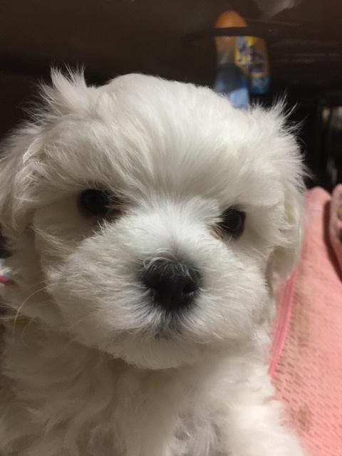 マルチーズの子犬(ID:1267011006)の1枚目の写真/更新日:2019-04-14