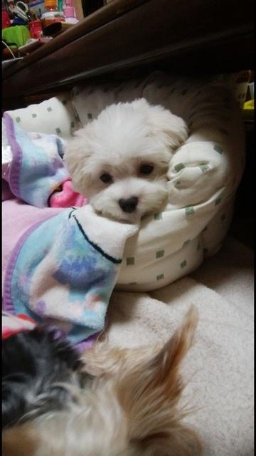 マルチーズの子犬(ID:1267011006)の2枚目の写真/更新日:2019-03-21