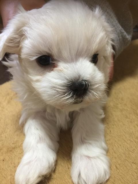 マルチーズの子犬(ID:1267011006)の3枚目の写真/更新日:2019-04-14