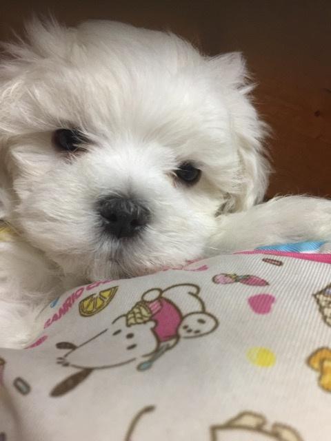 マルチーズの子犬(ID:1267011006)の4枚目の写真/更新日:2019-04-25