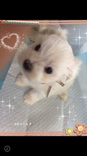 マルチーズの子犬(ID:1267011008)の1枚目の写真/更新日:2019-12-12