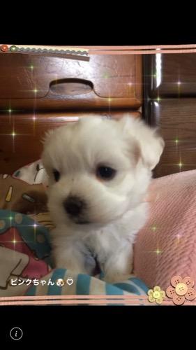 マルチーズの子犬(ID:1267011008)の2枚目の写真/更新日:2019-12-12