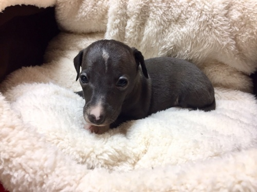 イタリアングレーハウンドの子犬(ID:1267211009)の3枚目の写真/更新日:2017-04-27