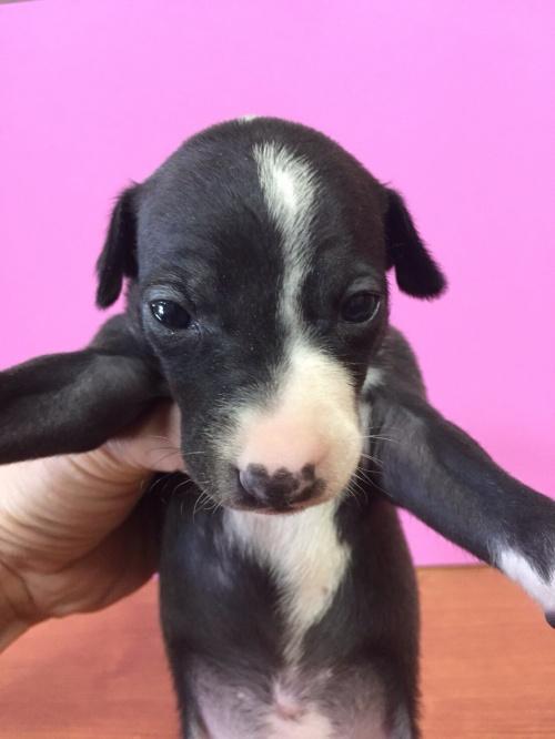 イタリアングレーハウンドの子犬(ID:1267211010)の2枚目の写真/更新日:2017-04-20