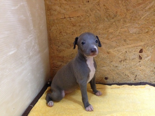 イタリアングレーハウンドの子犬(ID:1267211020)の2枚目の写真/更新日:2017-07-21
