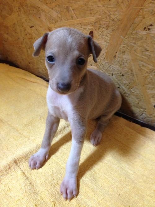 イタリアングレーハウンドの子犬(ID:1267211021)の1枚目の写真/更新日:2017-07-21