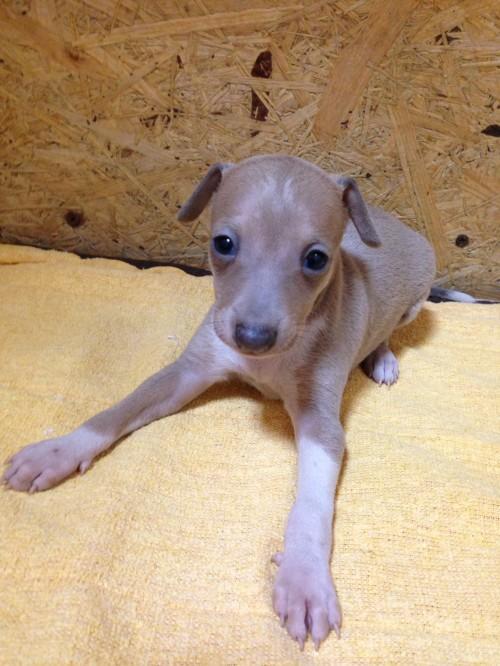 イタリアングレーハウンドの子犬(ID:1267211021)の2枚目の写真/更新日:2017-07-21