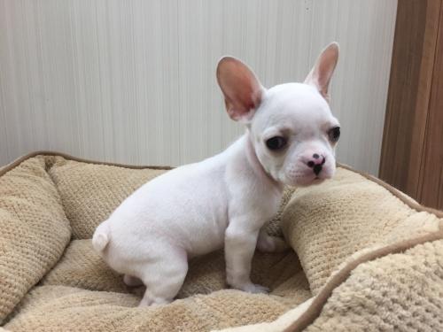 フレンチブルドッグの子犬(ID:1267411001)の1枚目の写真/更新日:2017-02-20