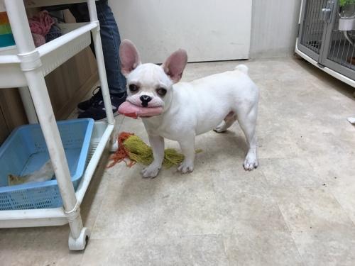 フレンチブルドッグの子犬(ID:1267411001)の3枚目の写真/更新日:2017-05-18