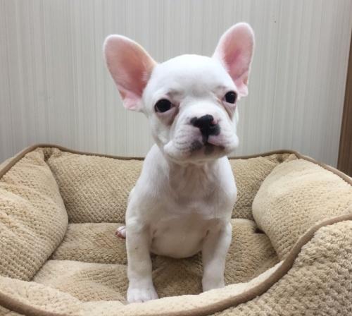 フレンチブルドッグの子犬(ID:1267411002)の1枚目の写真/更新日:2017-02-20