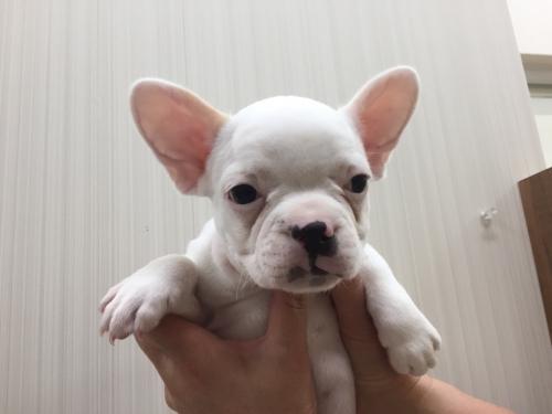 フレンチブルドッグの子犬(ID:1267411002)の2枚目の写真/更新日:2017-02-01