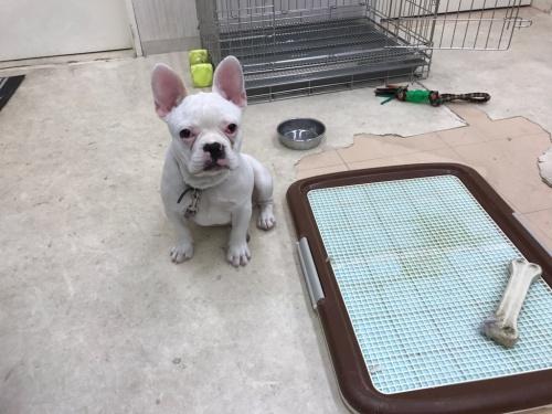 フレンチブルドッグの子犬(ID:1267411002)の3枚目の写真/更新日:2017-05-18