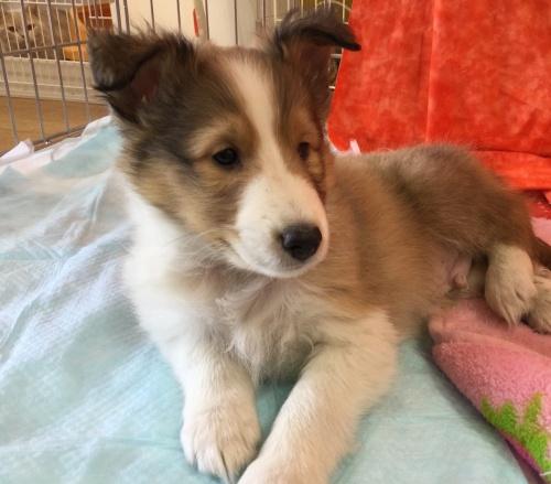 シェットランドシープドッグの子犬(ID:1267411004)の1枚目の写真/更新日:2017-02-09
