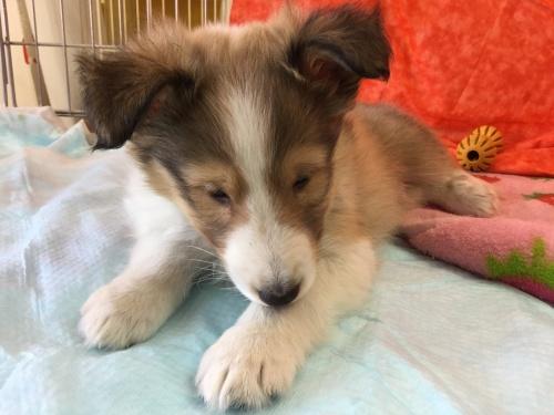 シェットランドシープドッグの子犬(ID:1267411004)の2枚目の写真/更新日:2017-02-08