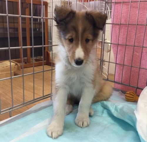 シェットランドシープドッグの子犬(ID:1267411005)の1枚目の写真/更新日:2017-02-15