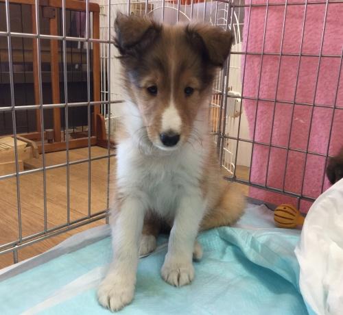 シェットランドシープドッグの子犬(ID:1267411005)の2枚目の写真/更新日:2017-02-15