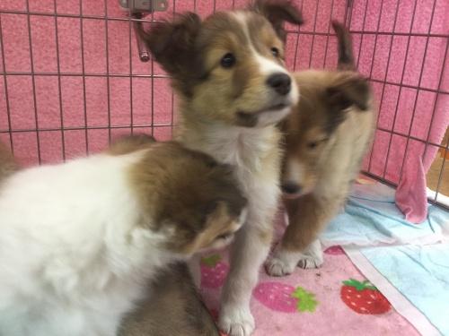 シェットランドシープドッグの子犬(ID:1267411006)の1枚目の写真/更新日:2017-02-08
