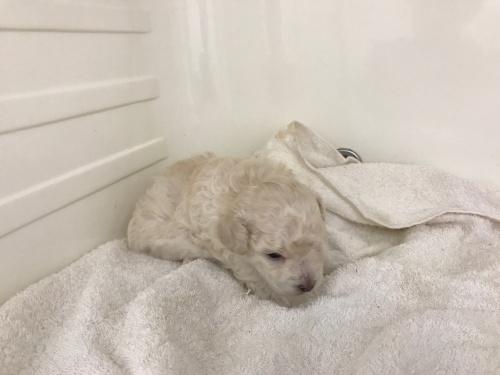 トイプードルの子犬(ID:1267411007)の2枚目の写真/更新日:2017-07-21