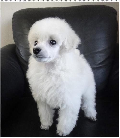 トイプードルの子犬(ID:1267611001)の1枚目の写真/更新日:2017-02-28