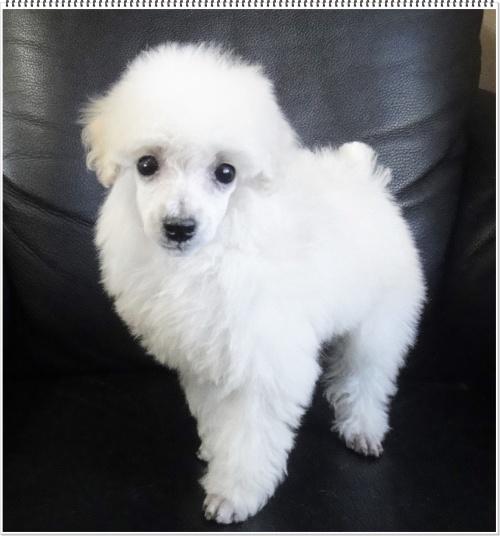 トイプードルの子犬(ID:1267611001)の3枚目の写真/更新日:2017-02-28