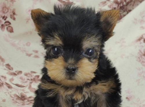 ヨークシャーテリアの子犬(ID:1267711003)の1枚目の写真/更新日:2017-02-23