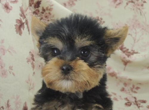 ヨークシャーテリアの子犬(ID:1267711004)の1枚目の写真/更新日:2017-02-23