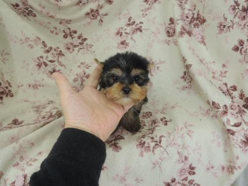 ヨークシャーテリアの子犬(ID:1267711004)の2枚目の写真/更新日:2017-02-23