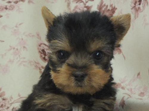 ヨークシャーテリアの子犬(ID:1267711005)の1枚目の写真/更新日:2017-02-23