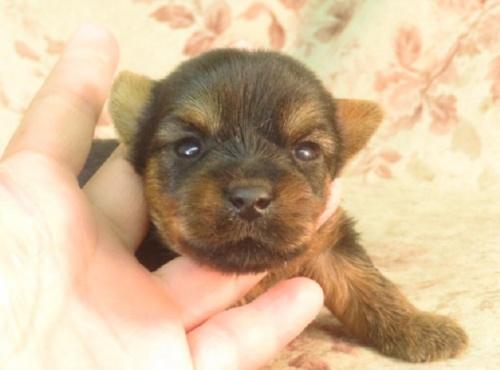 ヨークシャーテリアの子犬(ID:1267711006)の2枚目の写真/更新日:2017-02-23