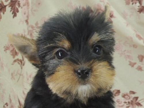 ヨークシャーテリアの子犬(ID:1267711007)の1枚目の写真/更新日:2017-02-23