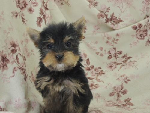 ヨークシャーテリアの子犬(ID:1267711007)の2枚目の写真/更新日:2017-02-23