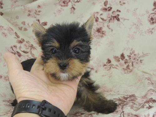 ヨークシャーテリアの子犬(ID:1267711007)の3枚目の写真/更新日:2017-02-23