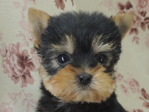 ヨークシャーテリアの子犬(ID:1267711008)の1枚目の写真/更新日:2017-02-23