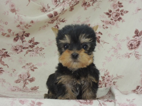 ヨークシャーテリアの子犬(ID:1267711008)の2枚目の写真/更新日:2017-02-23