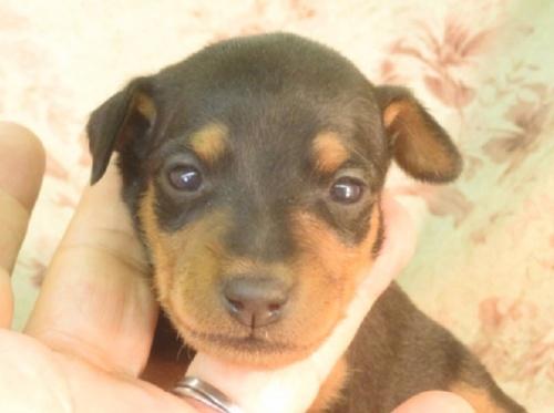 ミニチュアピンシャーの子犬(ID:1267711015)の1枚目の写真/更新日:2019-09-25