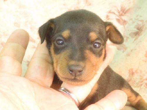 ミニチュアピンシャーの子犬(ID:1267711015)の2枚目の写真/更新日:2019-09-25