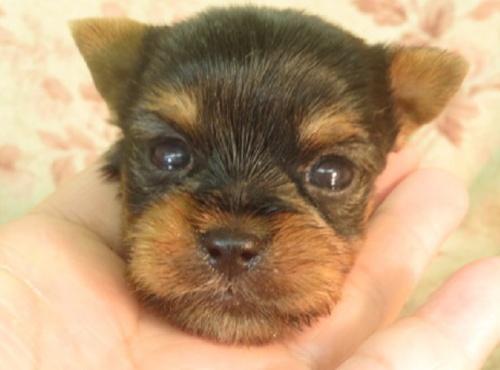 ヨークシャーテリアの子犬(ID:1267711020)の1枚目の写真/更新日:2021-06-09