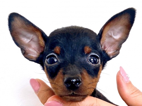 ミニチュアピンシャーの子犬(ID:1267711021)の1枚目の写真/更新日:2021-03-11