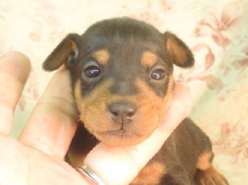 ミニチュアピンシャーの子犬(ID:1267711021)の2枚目の写真/更新日:2018-08-17