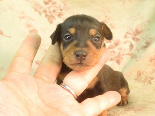 ミニチュアピンシャーの子犬(ID:1267711021)の3枚目の写真/更新日:2018-07-26