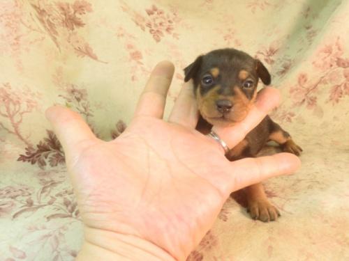 ミニチュアピンシャーの子犬(ID:1267711021)の4枚目の写真/更新日:2018-07-26