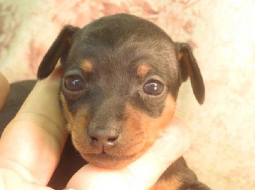 ミニチュアピンシャーの子犬(ID:1267711022)の1枚目の写真/更新日:2021-02-27