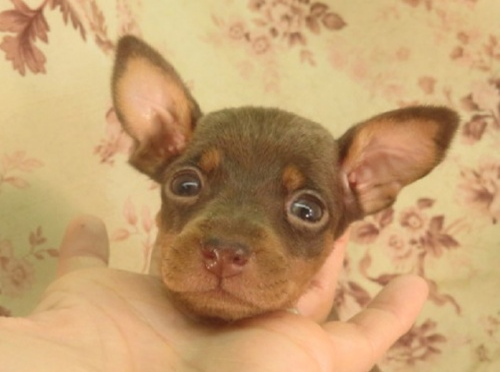 ミニチュアピンシャーの子犬(ID:1267711022)の2枚目の写真/更新日:2018-06-26