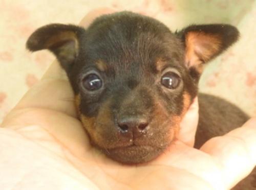 ミニチュアピンシャーの子犬(ID:1267711023)の1枚目の写真/更新日:2021-04-14