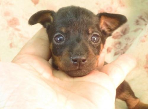 ミニチュアピンシャーの子犬(ID:1267711023)の2枚目の写真/更新日:2021-04-14
